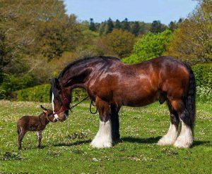 Un libro per scoprire e amare i cavalli di razza Shire