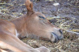 Che cosa sappiamo davvero sul sonno dei cavalli?