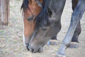 Relazioni tra cavalli: come risolvere l'ansia da separazione?